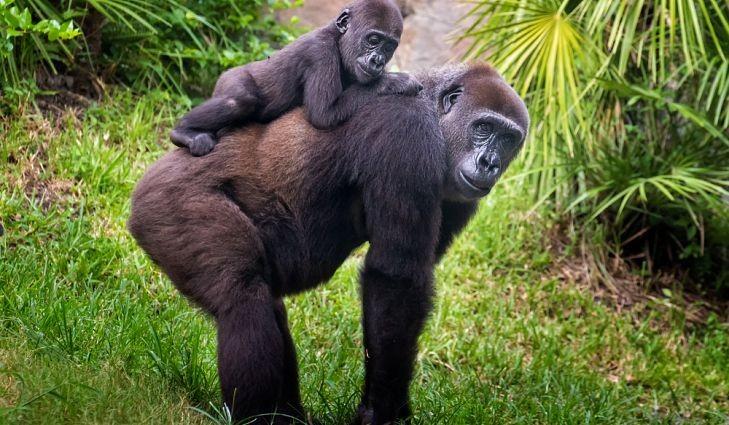 Házassági évfordulós bulit tart két gorillájának a pesti állatkert