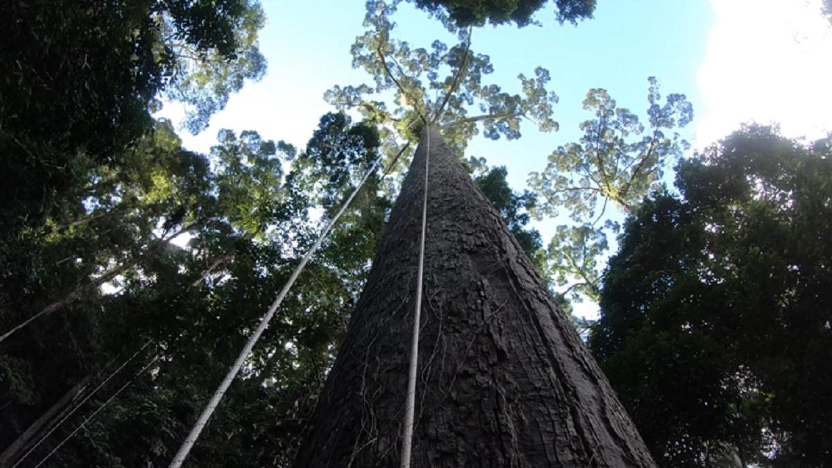 Lézeres repülő találta meg a világ legmagasabb trópusi fáját