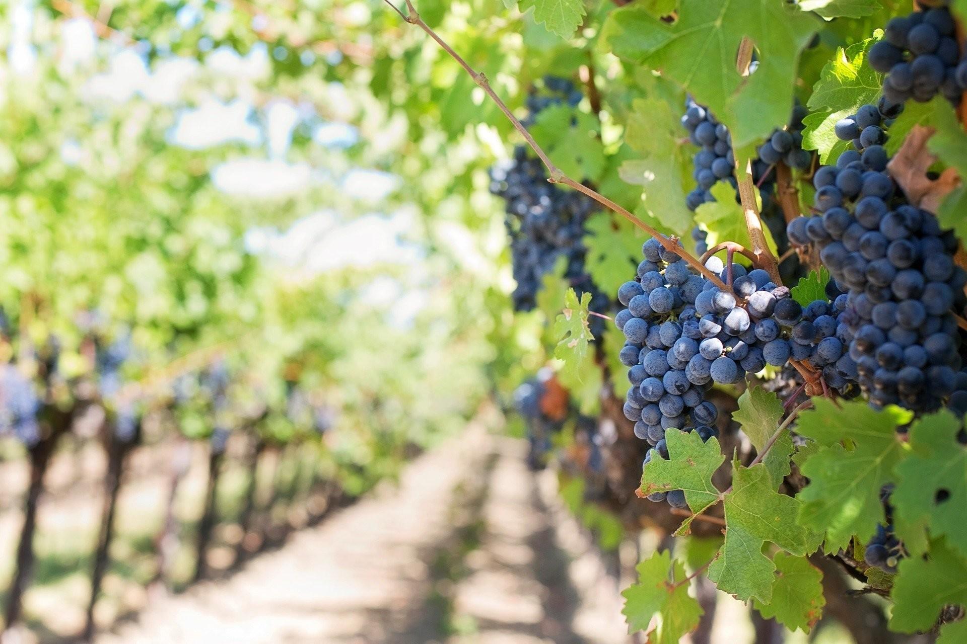 Átfogó szüreti mustfok ellenőrzést szerveznek a szőlőtermesztők védelmében