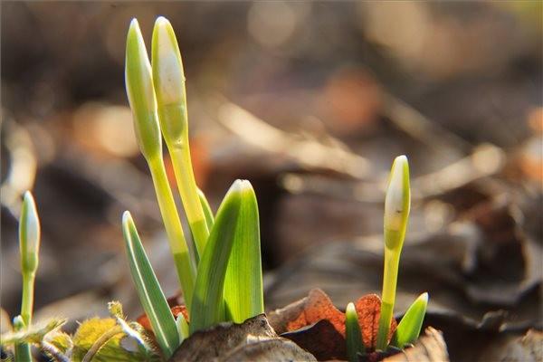 Közeleg a tavasz: megjelentek az első hóvirágok!