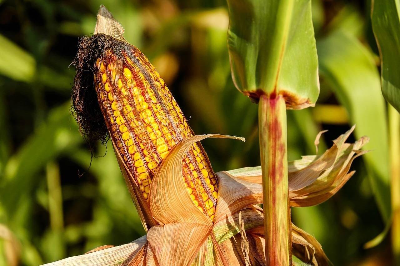 A kukoricát szennyező toxin hatásaira kíváncsiak Kaposváron