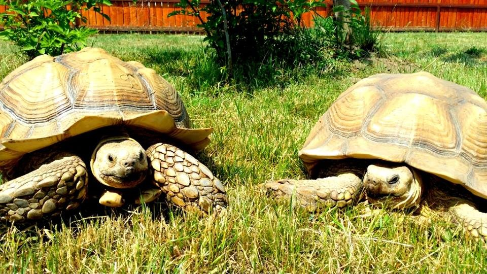 Csaknem megduplázódik a teknősök száma a balatonföldvári Teknősparkban