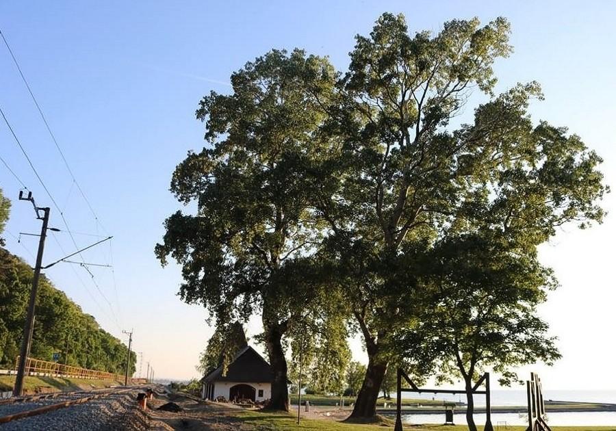 A fonyódi fehér nyárfák is bekerültek az Év Fája verseny döntőjébe