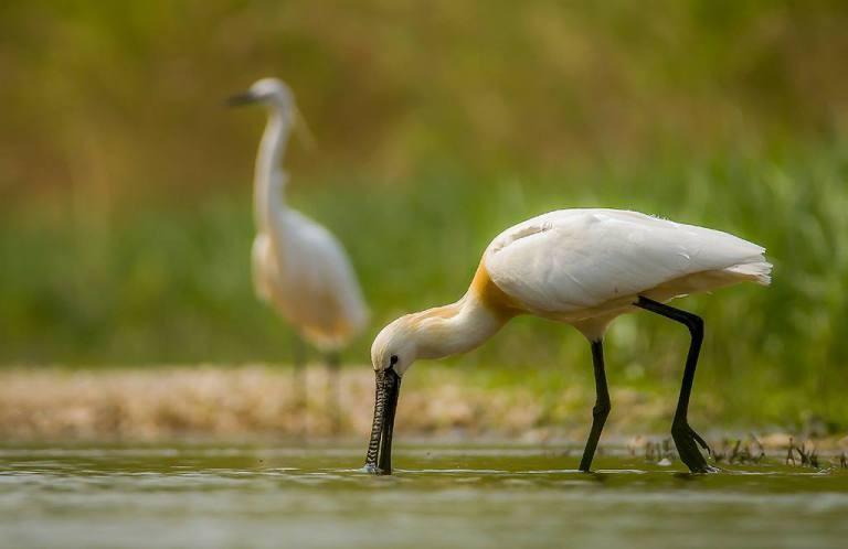 Tavaszi madárvonulás a Kis-Balatonnál