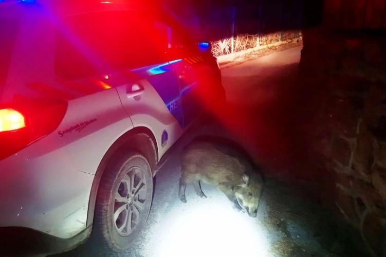 Elkapták az úttesten szaglászó vadmalacot a rendőrök