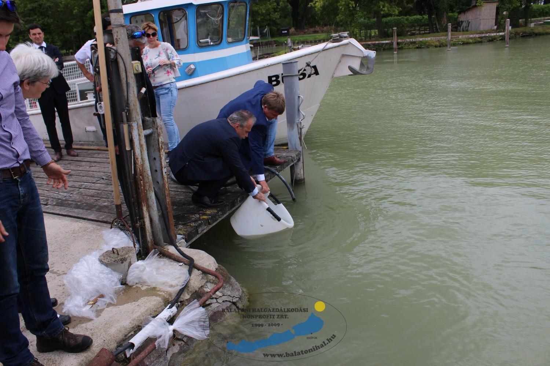 60 000 előnevelt balint telepítettek ma a Balatonba
