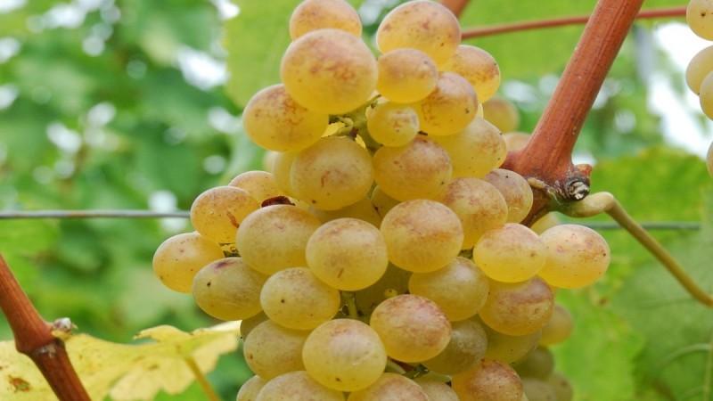 Egyre népszerűbb a magnélküli csemegeszőlő