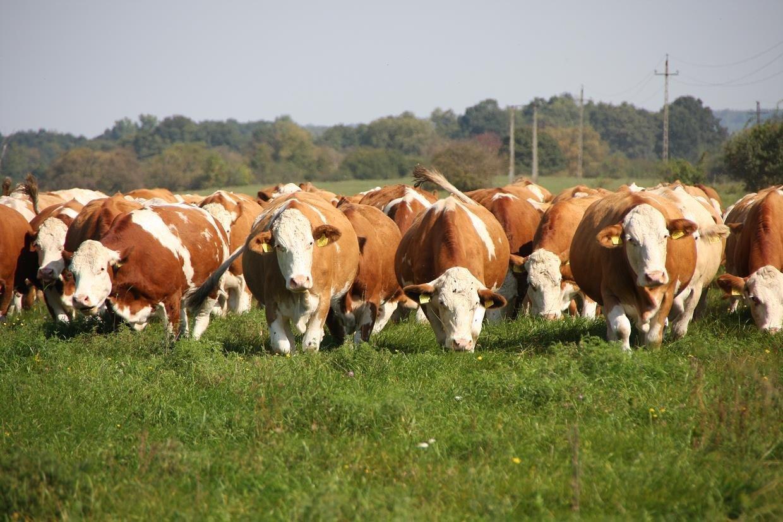 Javult a magyartarkák tej- és húshozama