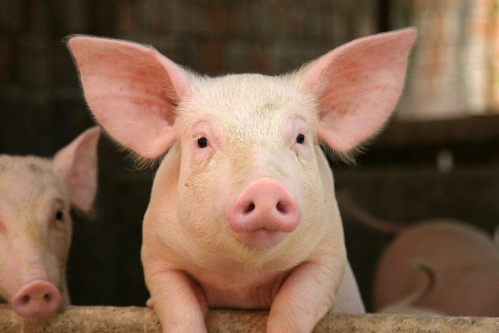 Afrikai sertéspestist mutatott ki a Nébih egy, az ukrán határon elkobzott sertéshús mintában