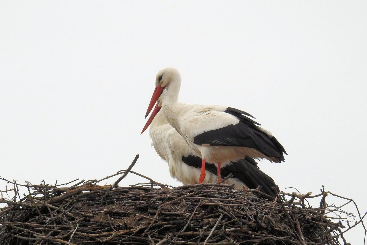 Idén már 4200 oszlopon fészkelhetnek biztonságosan a gólyák